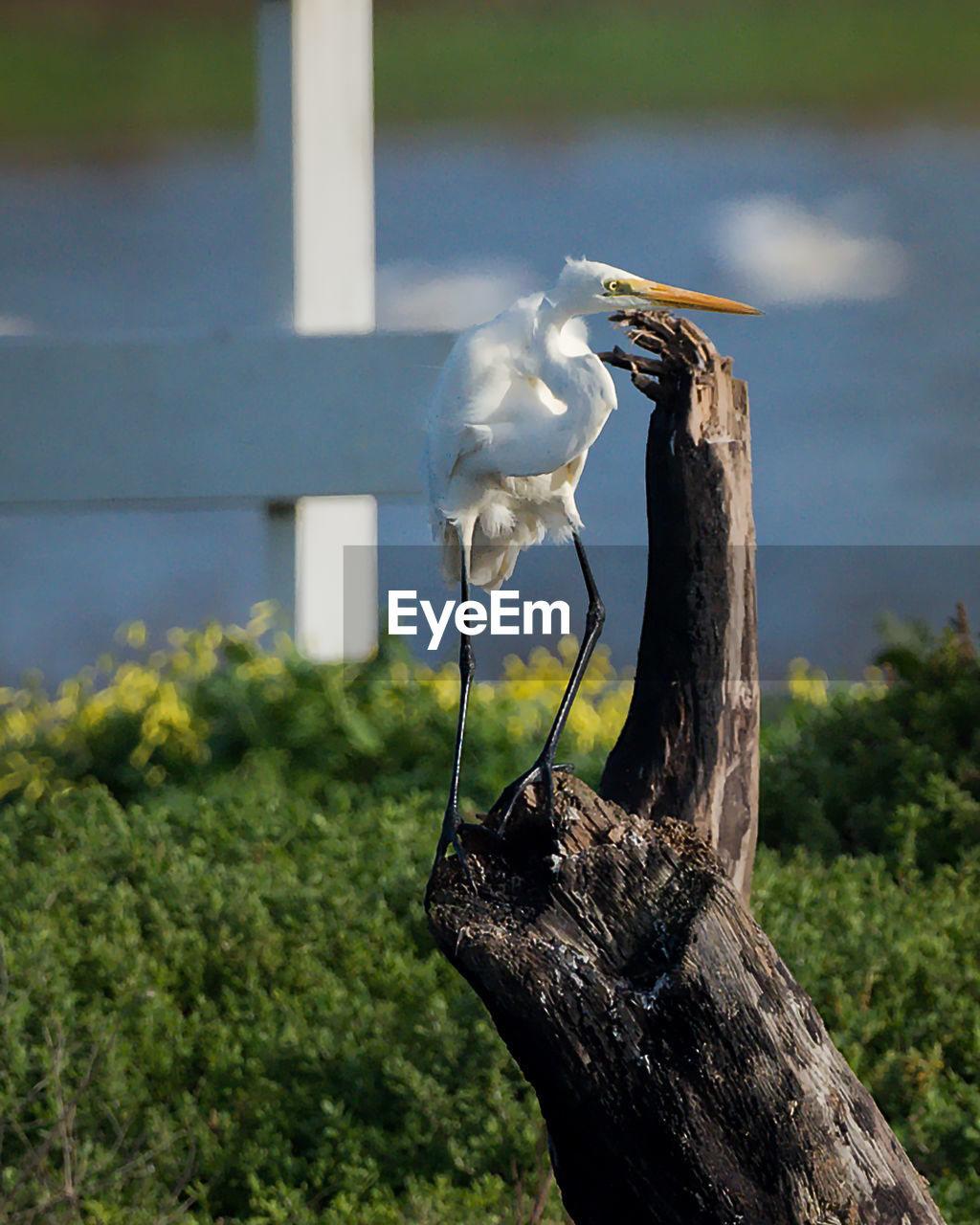 Great Egret Perching On Wood
