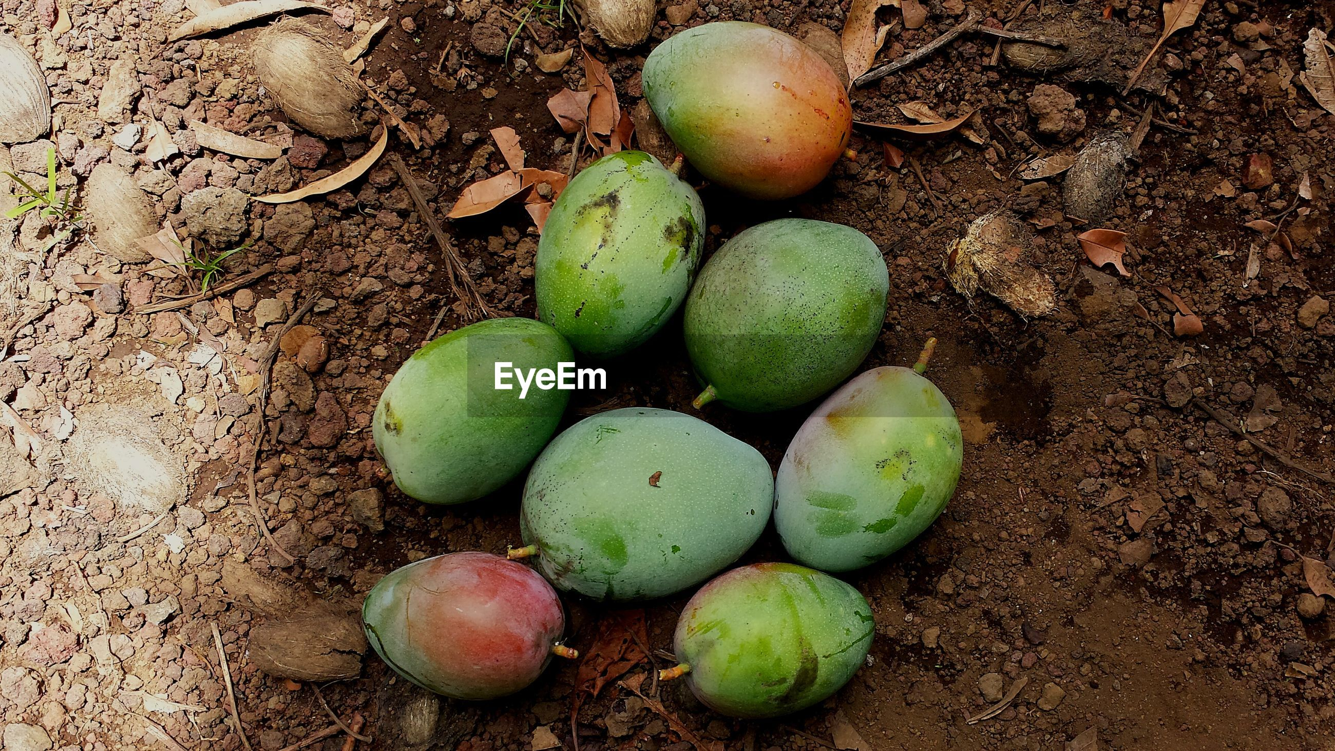 High angle view of mangoes on field