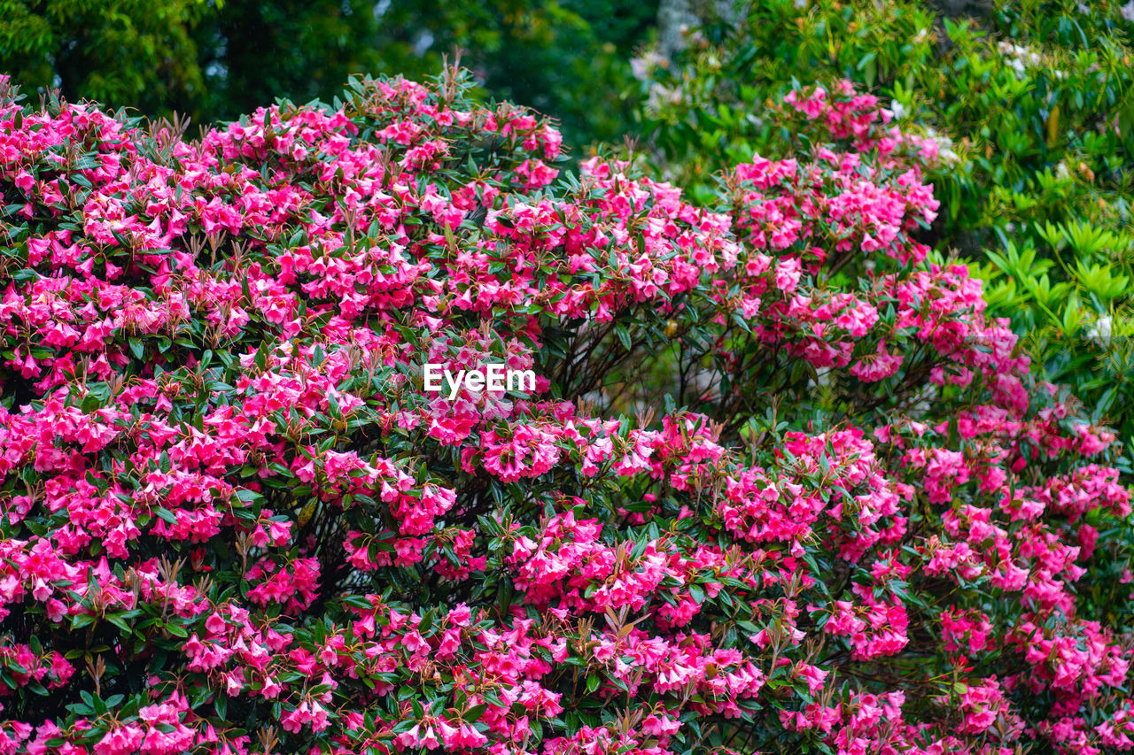 flower, flowering plant, plant, pink color, beauty in nature, growth, freshness, fragility, vulnerability, nature, botany, day, no people, garden, petal, springtime, flower head, blossom, outdoors, inflorescence, flowerbed, spring