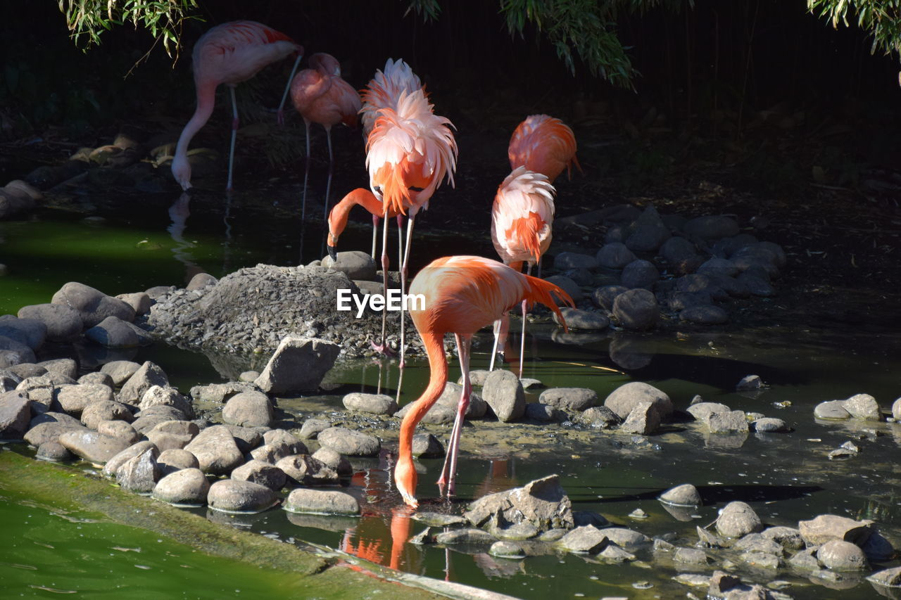 water, rock, solid, flamingo, rock - object, animals in the wild, lake, vertebrate, animal themes, animal wildlife, nature, animal, group of animals, bird, no people, day, stone - object, outdoors, pebble