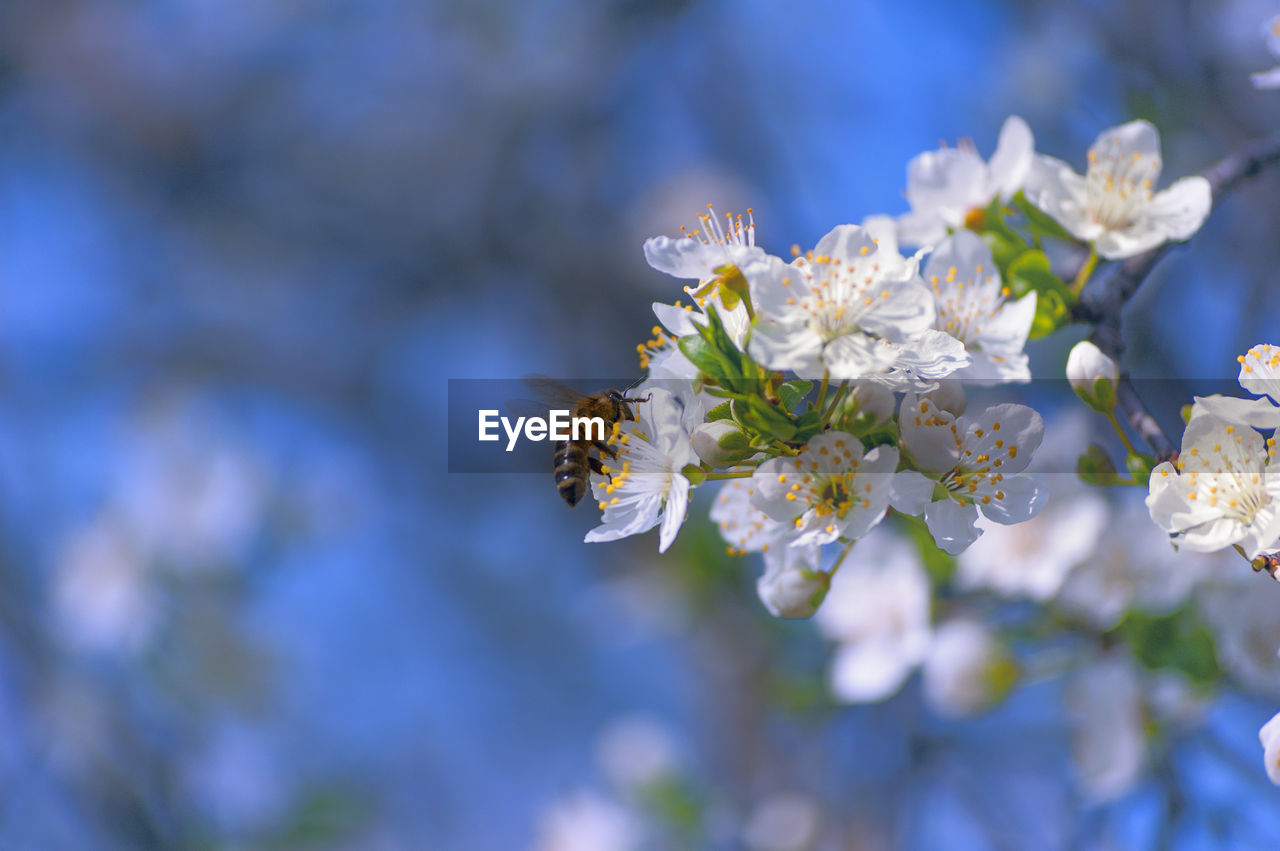 flower, flowering plant, fragility, beauty in nature, vulnerability, freshness, plant, animal wildlife, animals in the wild, invertebrate, close-up, petal, insect, bee, animal themes, flower head, growth, animal, day, one animal, no people, pollination, cherry blossom