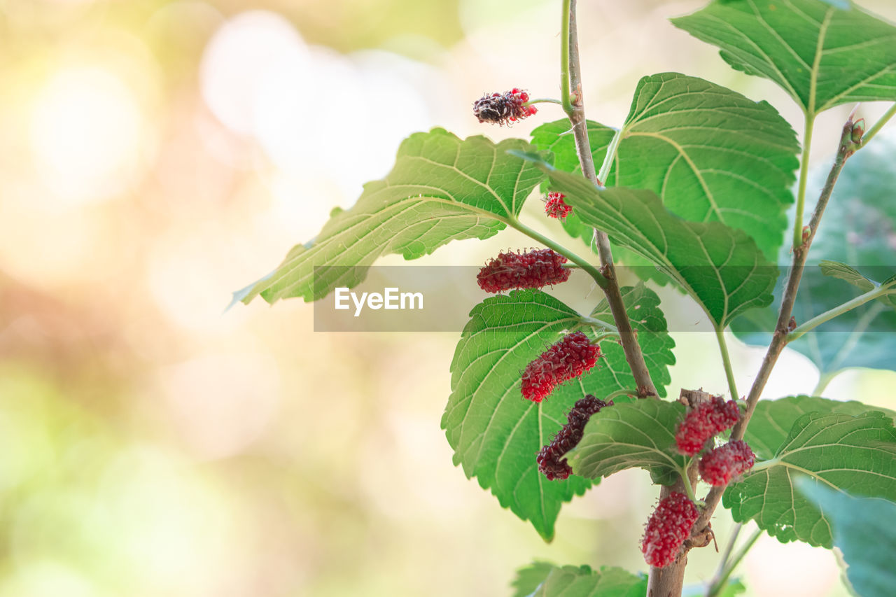 leaf, plant part, plant, growth, close-up, freshness, green color, focus on foreground, beauty in nature, nature, day, flower, flowering plant, no people, vulnerability, fragility, food and drink, berry fruit, food, healthy eating, outdoors, flower head, ripe