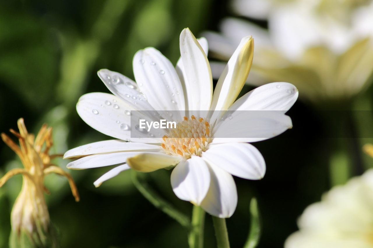 CLOSE-UP OF RAINDROPS ON WHITE FLOWERING PLANTS