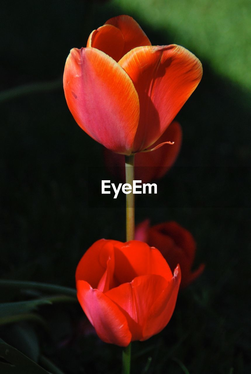 flowering plant, flower, plant, beauty in nature, freshness, petal, fragility, vulnerability, inflorescence, flower head, close-up, growth, red, nature, focus on foreground, orange color, tulip, no people, outdoors, orange, pollen