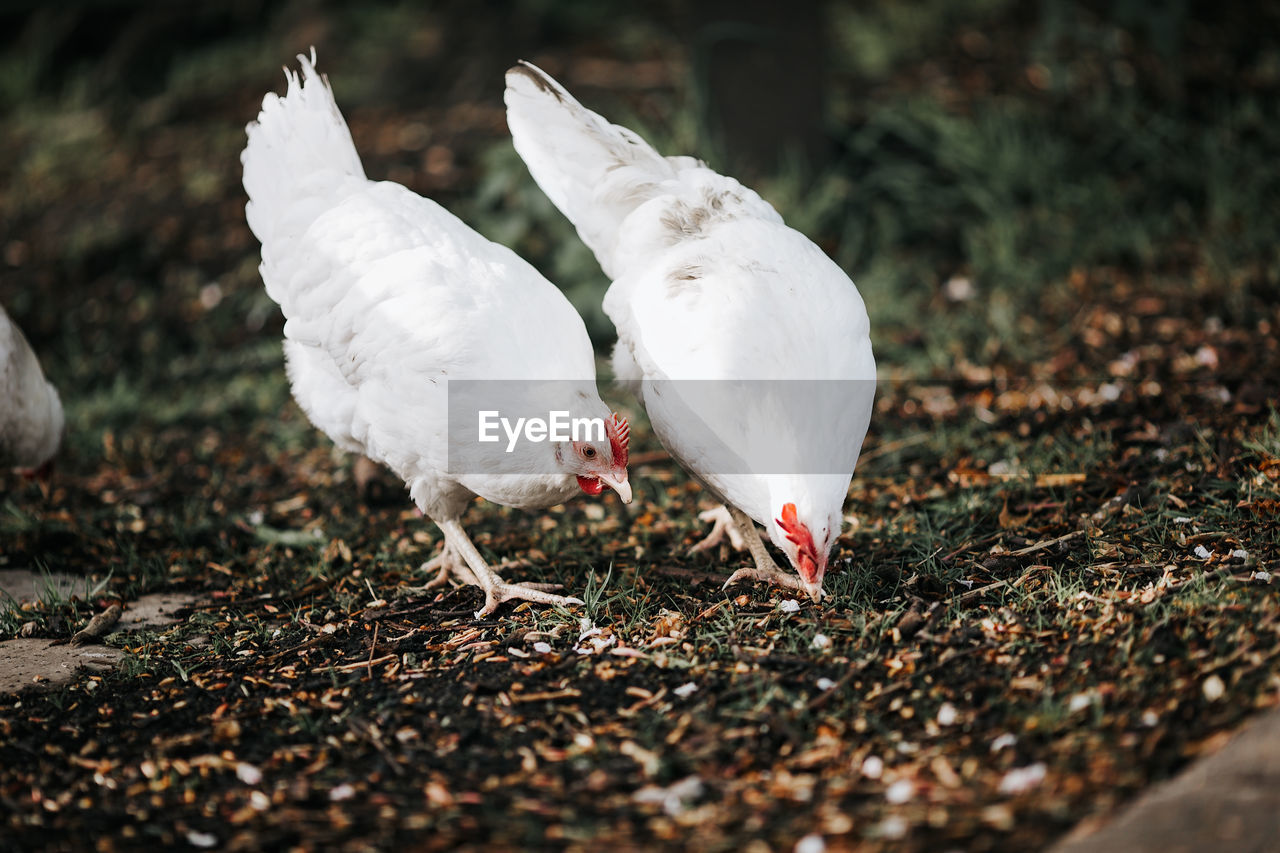 CLOSE-UP OF BIRDS IN FIELD