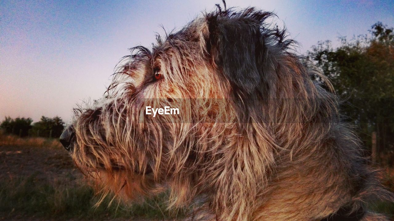 domestic animals, one animal, animal themes, dog, mammal, pets, animal hair, no people, outdoors, day, close-up, field, focus on foreground, grass, sky, nature