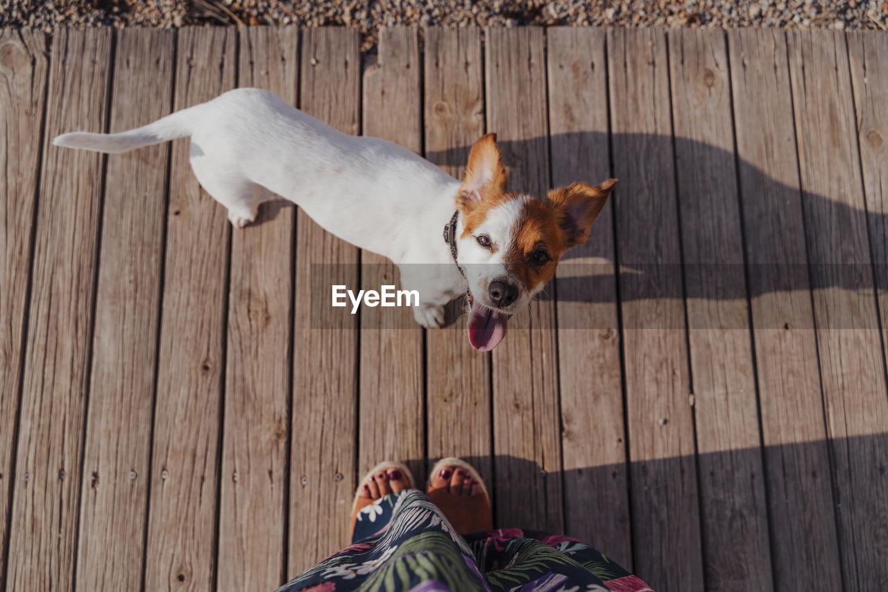 High angle view of dog standing on hardwood floor