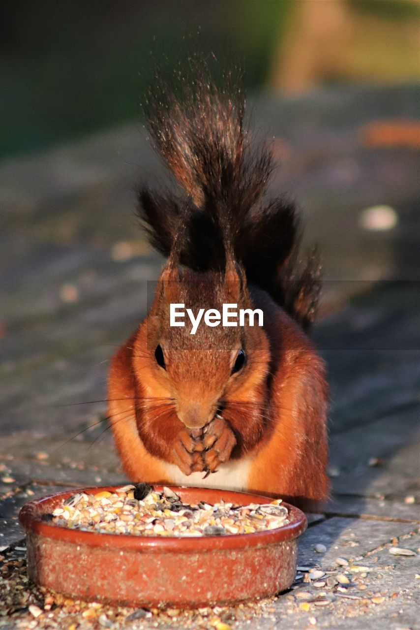 animal themes, animal, one animal, mammal, rodent, eating, animal wildlife, food, close-up, focus on foreground, animals in the wild, no people, food and drink, vertebrate, day, nature, looking at camera, squirrel, portrait, outdoors, whisker, drinking, hungry