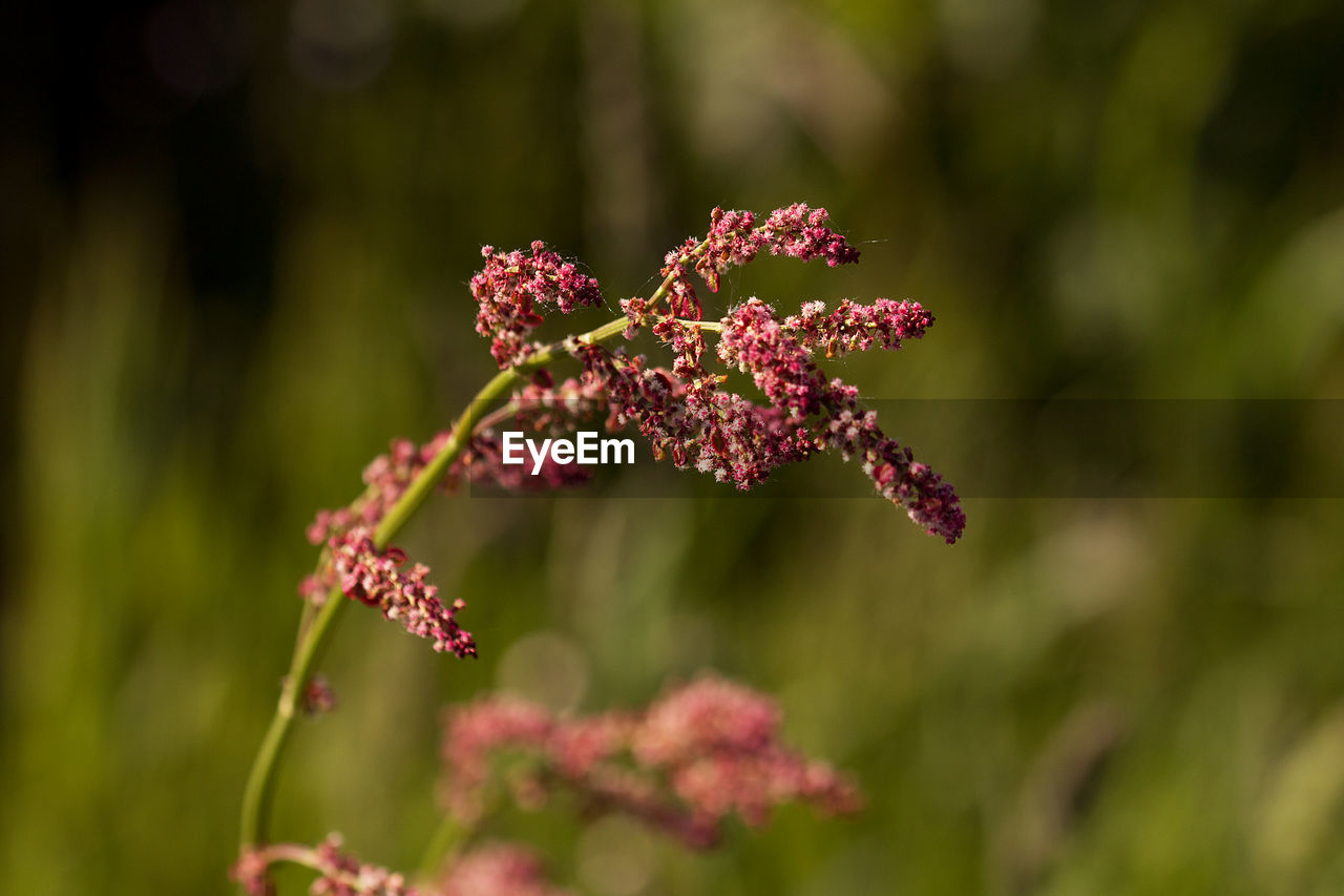 flower, plant, growth, flowering plant, beauty in nature, freshness, fragility, vulnerability, close-up, pink color, focus on foreground, nature, day, no people, selective focus, outdoors, petal, flower head, inflorescence, red