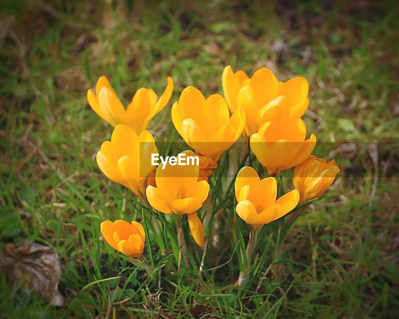 flower, nature, yellow, petal, beauty in nature, growth, plant, fragility, field, freshness, outdoors, flower head, blooming, no people, vibrant color, blossom, springtime, day, close-up, grass, crocus