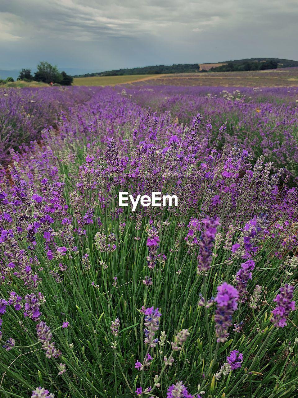 PURPLE FLOWERING PLANTS ON FIELD BY LAND