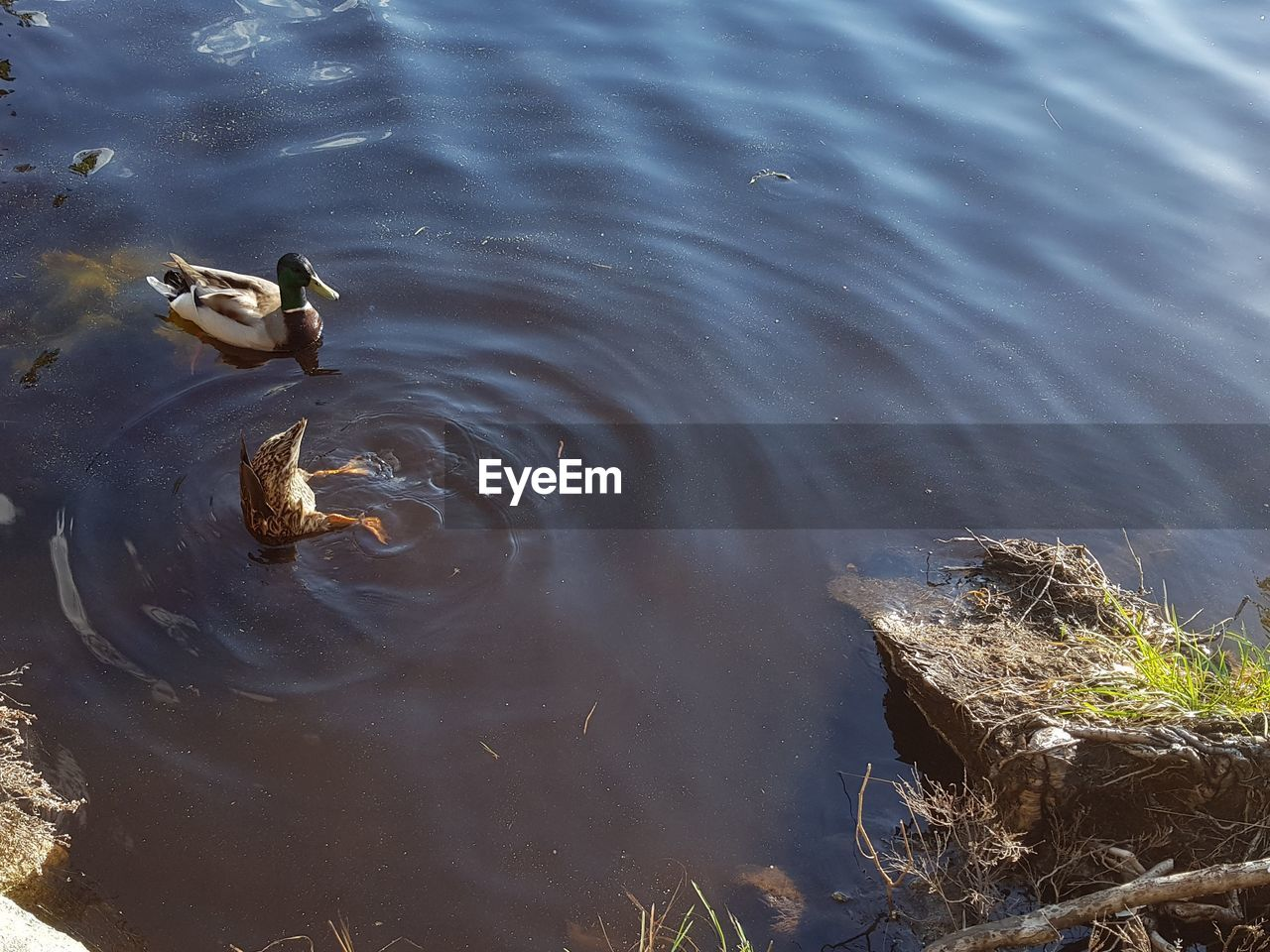 animal wildlife, bird, animals in the wild, animal themes, animal, vertebrate, water, lake, high angle view, nature, duck, swimming, no people, group of animals, poultry, day, beauty in nature, outdoors, animal family