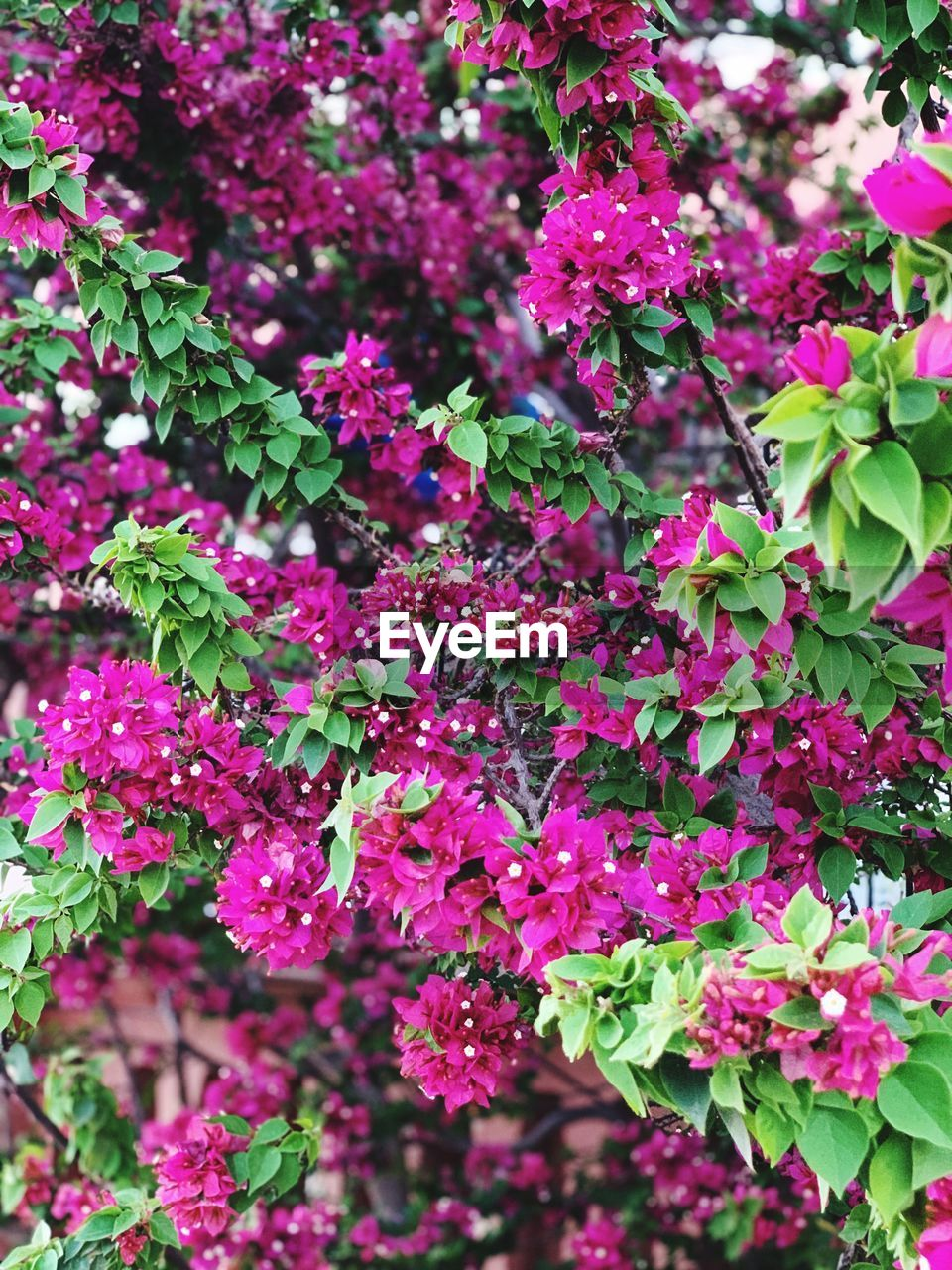 flowering plant, plant, flower, growth, freshness, beauty in nature, pink color, vulnerability, fragility, close-up, petal, day, inflorescence, nature, no people, flower head, focus on foreground, plant part, leaf, outdoors, purple, lilac, bunch of flowers