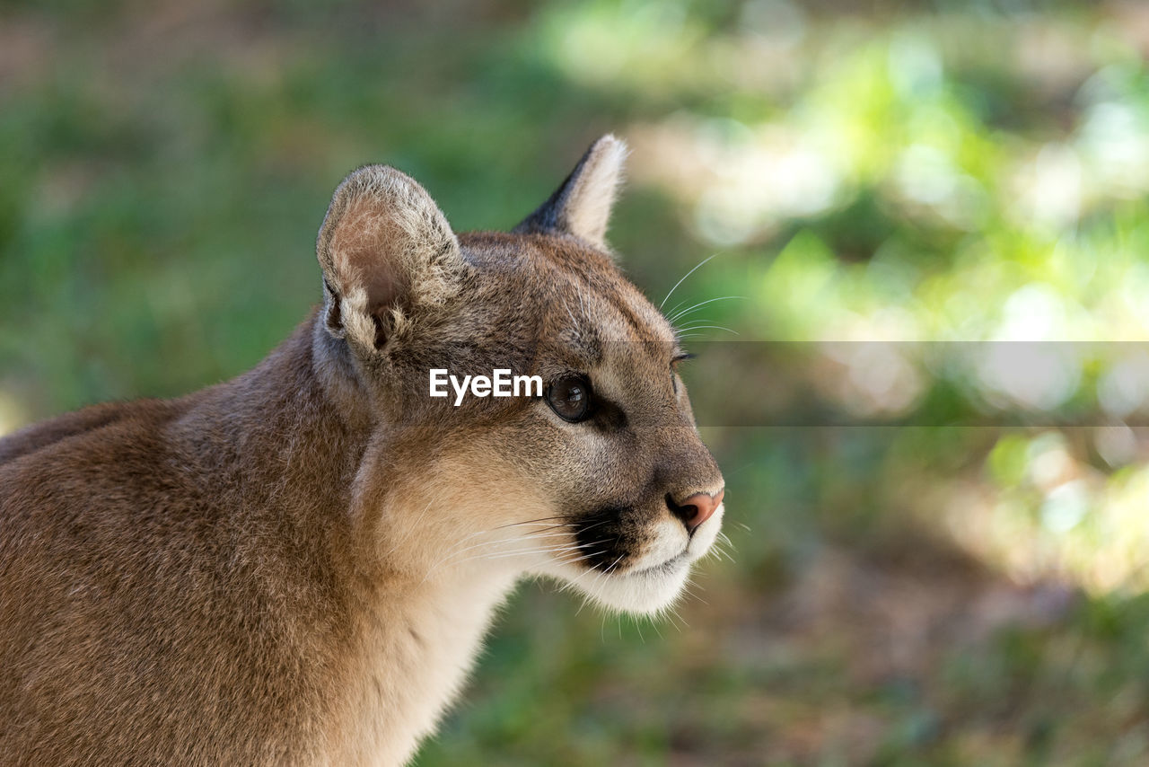 Close-Up Of Cougar Looking Away