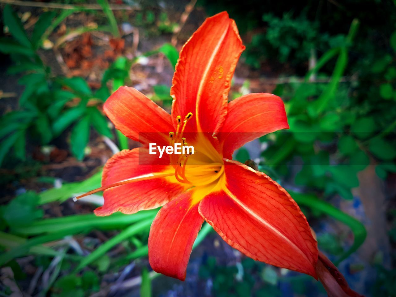 petal, growth, flower, beauty in nature, flower head, nature, fragility, freshness, plant, blooming, outdoors, close-up, day, day lily, no people