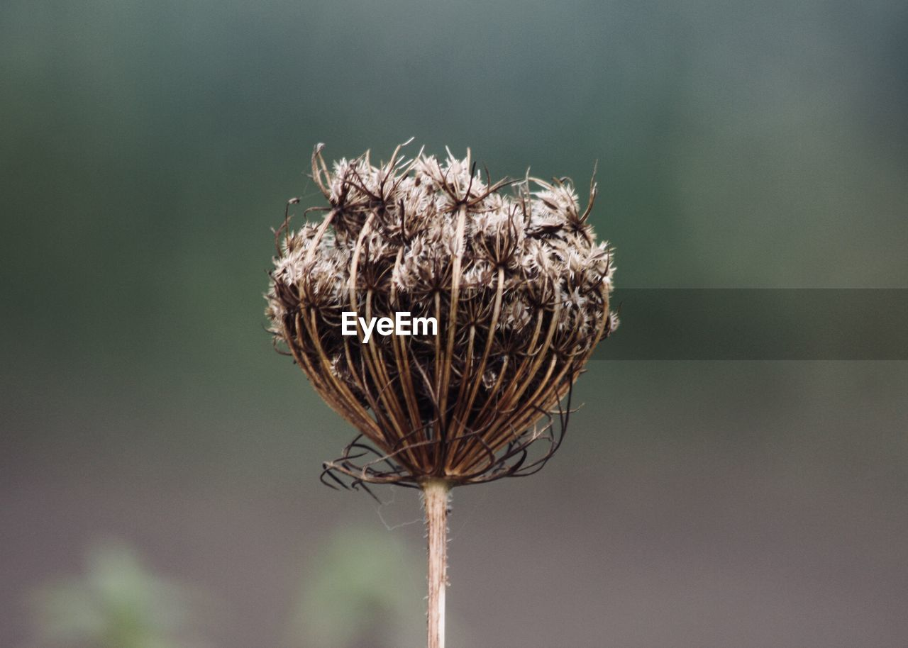 nature, close-up, focus on foreground, plant, no people, flower, dead plant, wilted plant, day, outdoors, dried plant, beauty in nature, animal themes, fragility, thistle, flower head, sky