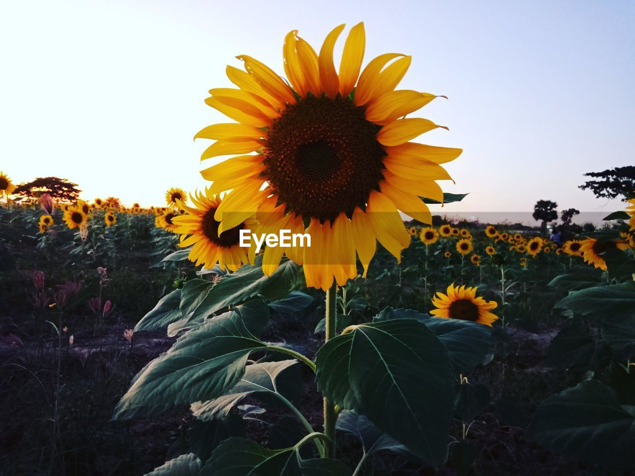 flowering plant, yellow, flower, plant, growth, flower head, freshness, vulnerability, fragility, sunflower, beauty in nature, sky, petal, inflorescence, plant part, leaf, nature, close-up, field, pollen, no people, outdoors