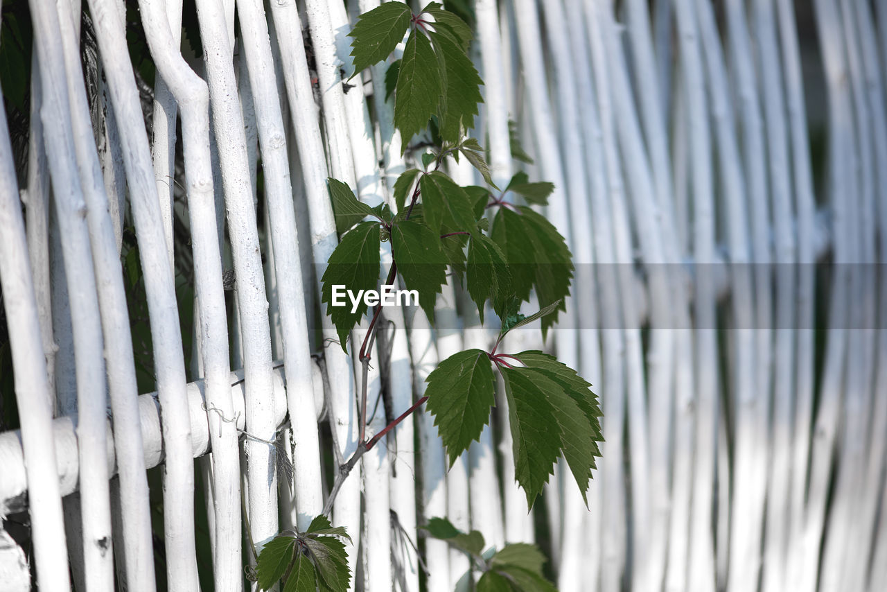 Close-up of plant by white wooden fence
