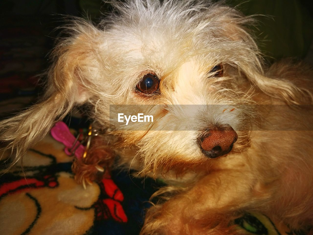mammal, domestic animals, animal themes, one animal, pets, close-up, dog, looking at camera, focus on foreground, no people, portrait, indoors, day