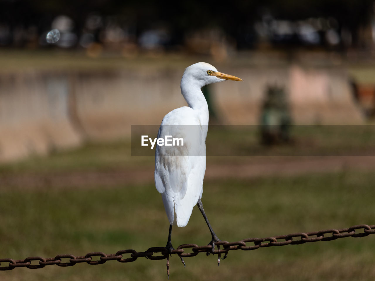 bird, animal themes, animal, focus on foreground, vertebrate, animals in the wild, animal wildlife, one animal, white color, fence, perching, no people, boundary, barrier, day, nature, metal, safety, egret, protection, outdoors, beak