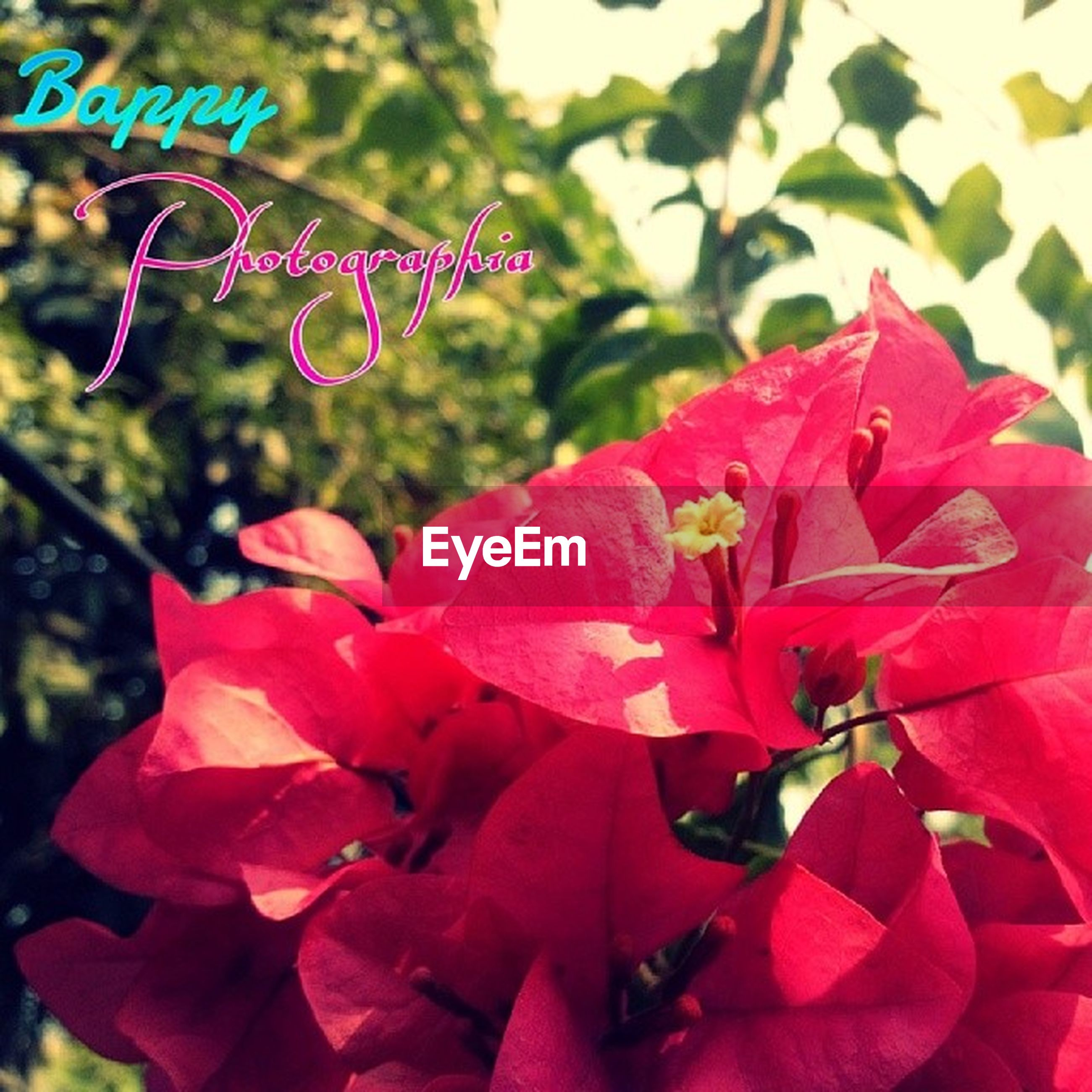 flower, freshness, petal, growth, fragility, beauty in nature, focus on foreground, pink color, flower head, close-up, nature, blooming, red, plant, in bloom, day, leaf, park - man made space, blossom, selective focus