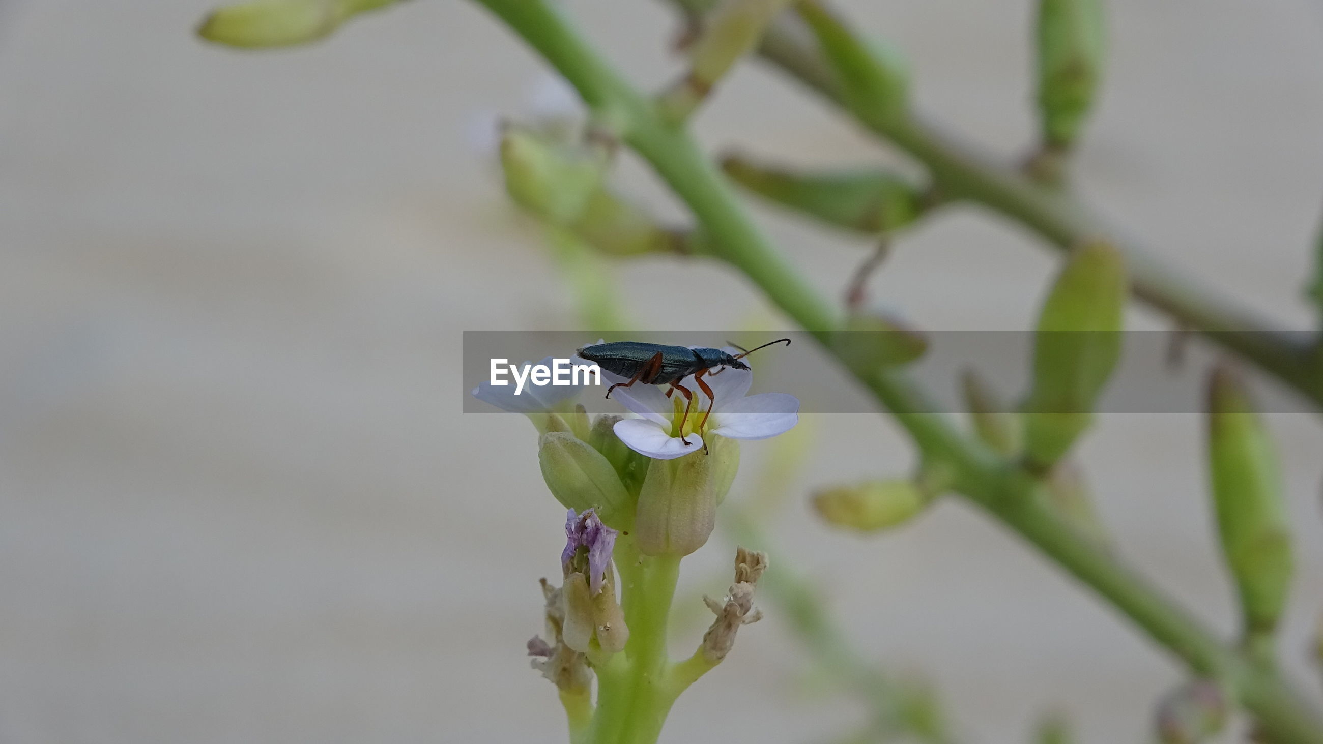 Beetle on purple flower, on sand