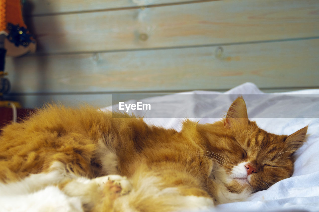 CAT SLEEPING IN A DOMESTIC ROOM
