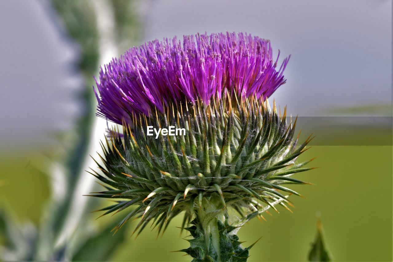 flower, flowering plant, plant, vulnerability, freshness, fragility, beauty in nature, growth, close-up, purple, thistle, inflorescence, flower head, focus on foreground, nature, petal, no people, day, selective focus, outdoors, sepal, spiky