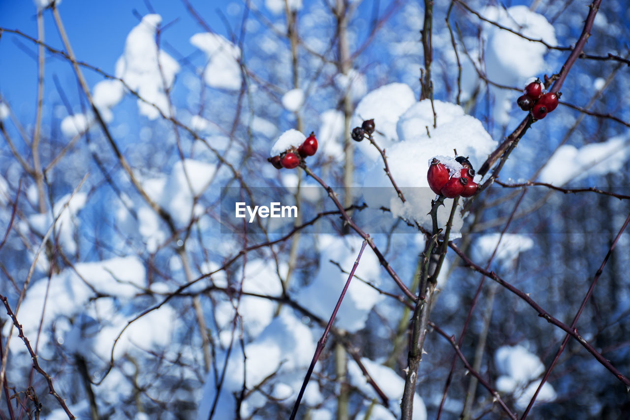plant, tree, fruit, focus on foreground, branch, healthy eating, rose hip, red, berry fruit, food, beauty in nature, day, freshness, growth, no people, nature, close-up, low angle view, food and drink, twig, outdoors, rowanberry