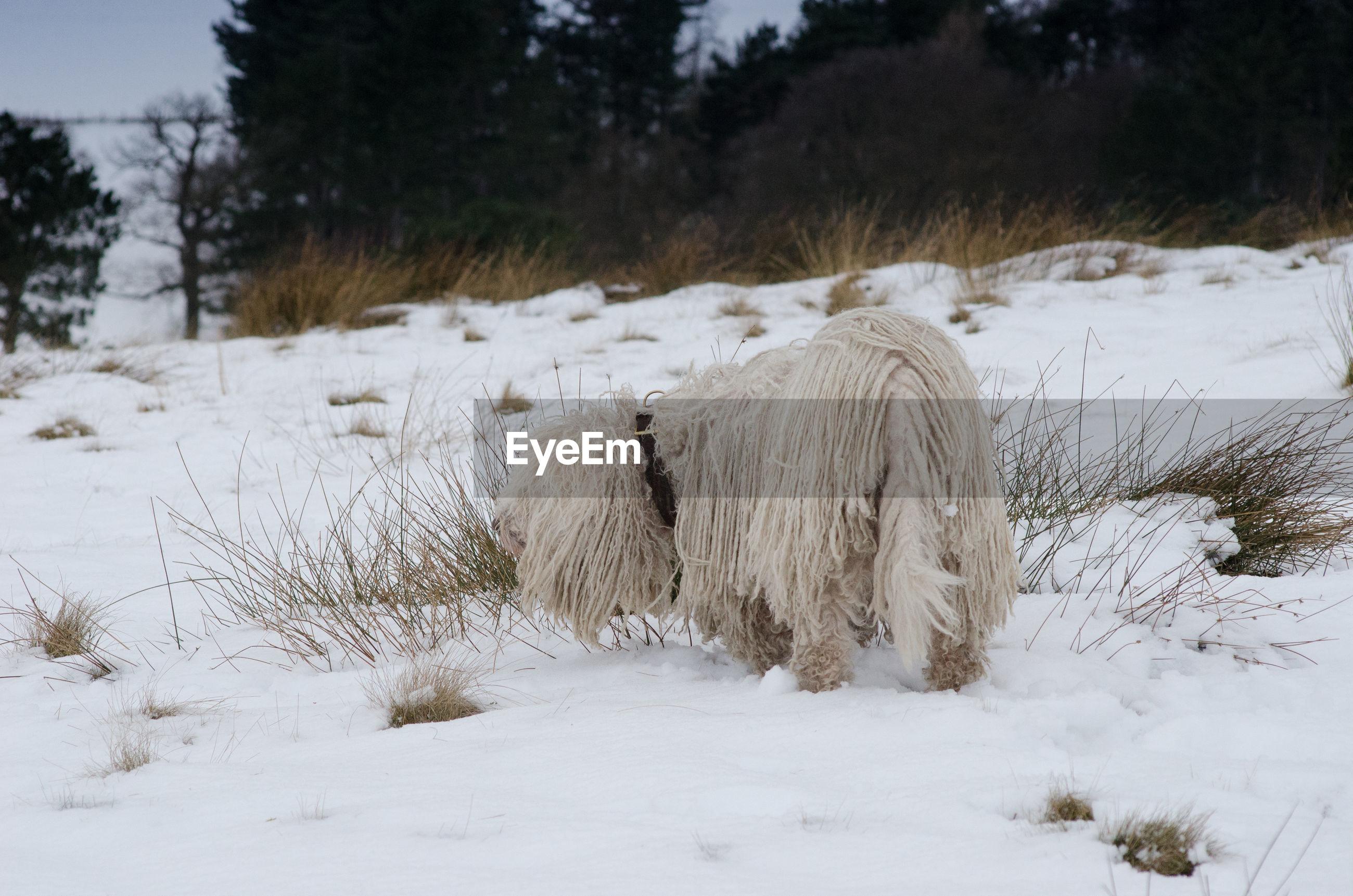 High angle view of hungarian komondor sheepdog on snow during winter