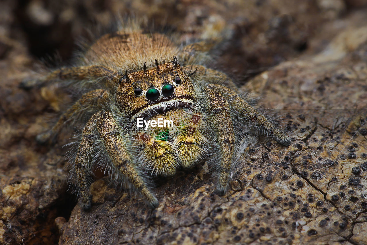 animal themes, animals in the wild, animal, animal wildlife, one animal, close-up, no people, invertebrate, nature, zoology, arachnid, day, insect, spider, rock, selective focus, arthropod, jumping spider, rock - object, solid, animal leg, animal eye
