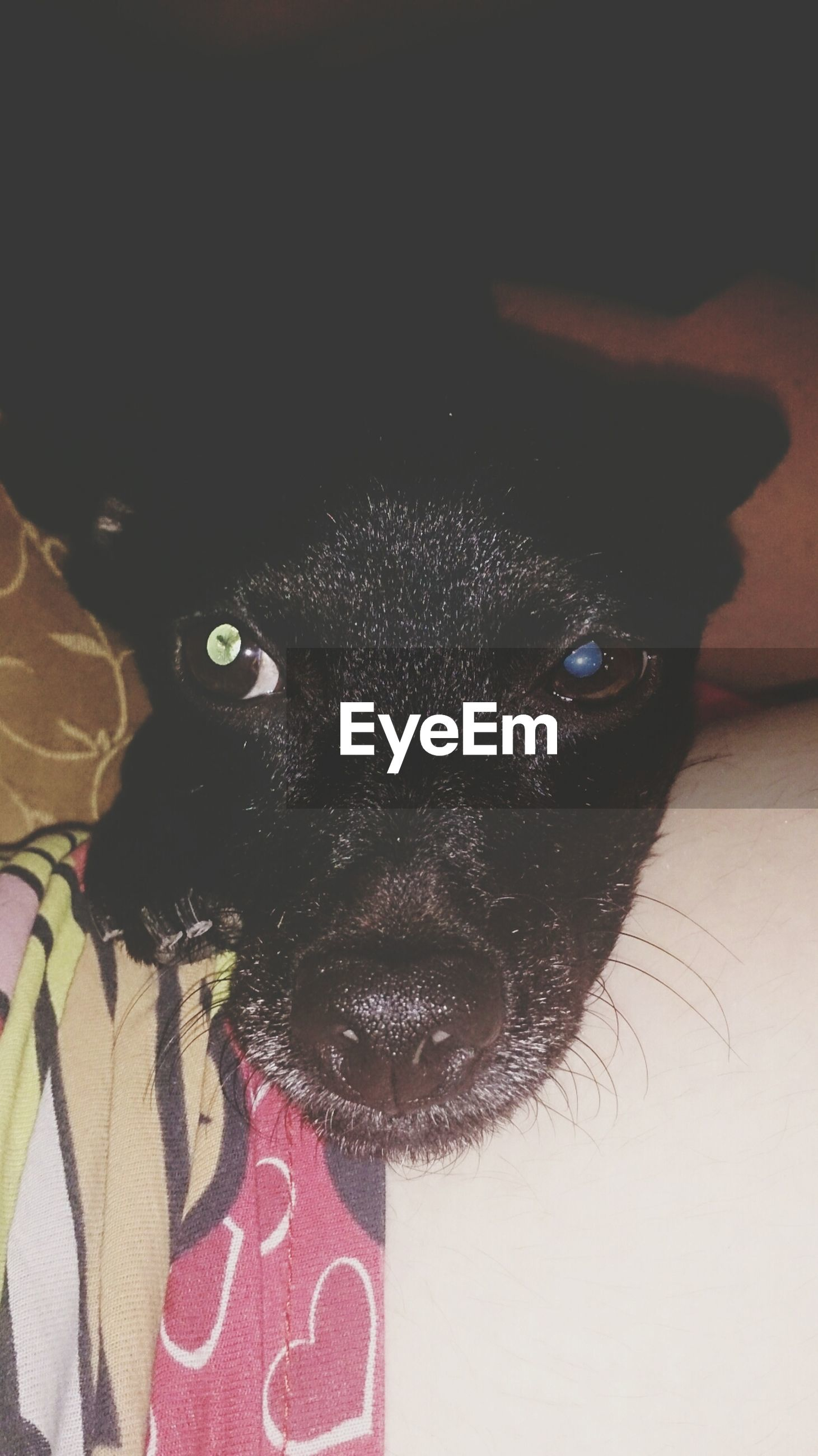 animal themes, one animal, domestic animals, pets, indoors, mammal, close-up, looking at camera, black color, portrait, dog, animal head, animal body part, high angle view, animal eye, animal representation, no people, front view, black, home interior
