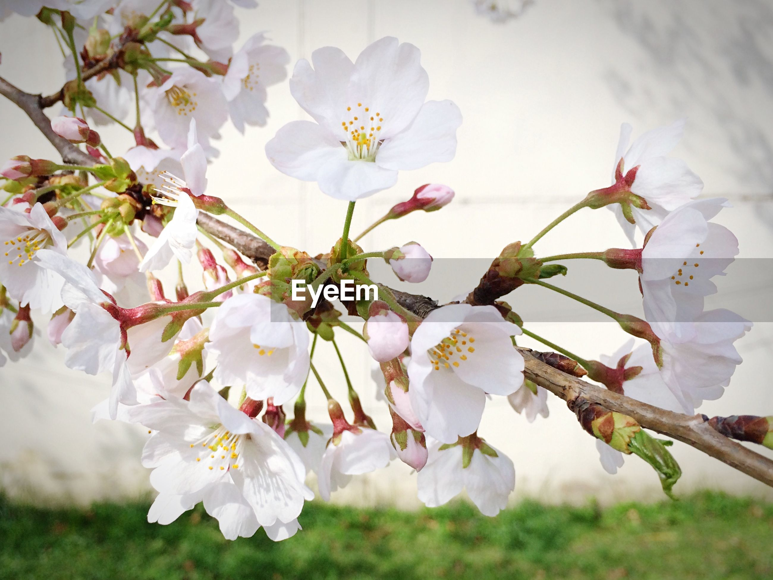 flower, freshness, fragility, white color, growth, petal, beauty in nature, cherry blossom, branch, blossom, tree, nature, cherry tree, flower head, apple tree, in bloom, apple blossom, focus on foreground, blooming, close-up