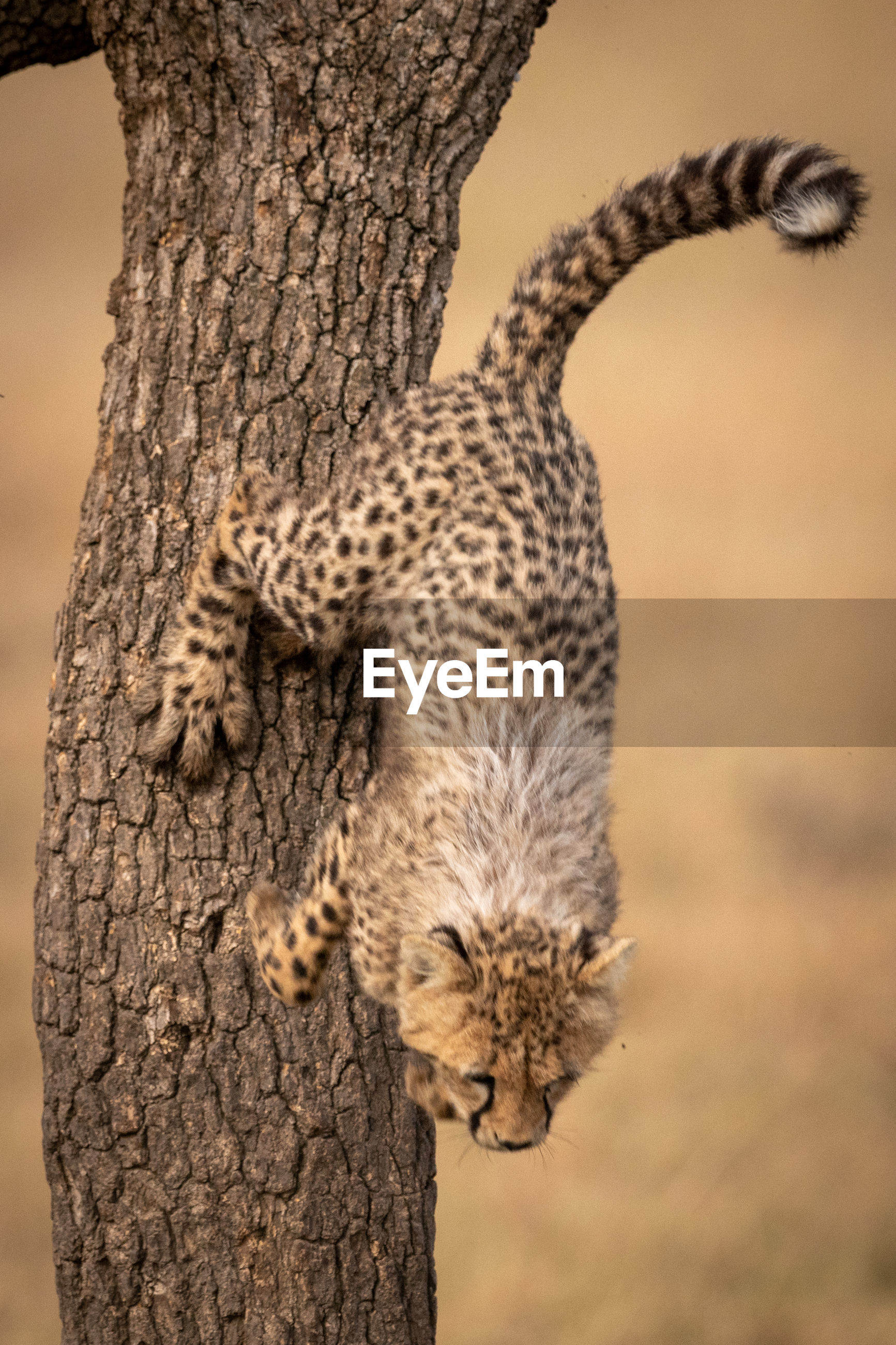 Cheetah jumping from tree trunk