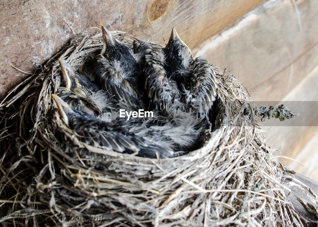 High Angle View Of Young Robins Relaxing In Nest
