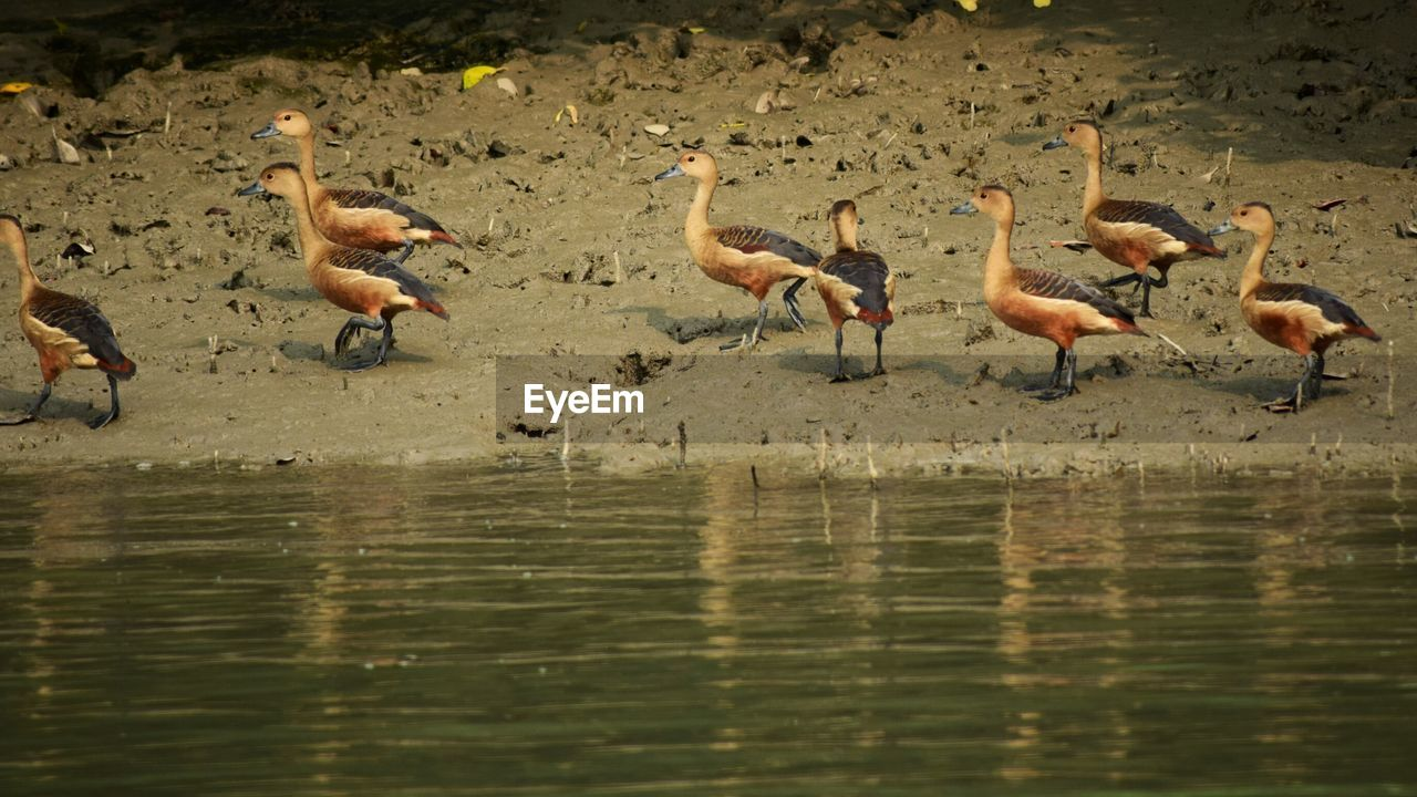 animals in the wild, large group of animals, bird, animal themes, lake, outdoors, animal wildlife, water, flock of birds, waterfront, day, nature, goose, no people, flamingo
