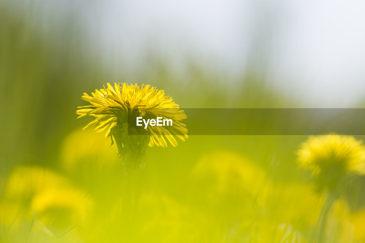 flower, yellow, flowering plant, plant, fragility, freshness, vulnerability, beauty in nature, growth, inflorescence, flower head, close-up, petal, nature, selective focus, day, no people, field, focus on foreground, outdoors, sepal
