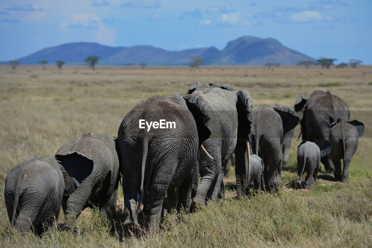 group of animals, animal themes, animal, animals in the wild, mammal, animal wildlife, field, elephant, landscape, vertebrate, grass, large group of animals, safari, land, day, environment, no people, plant, herd, outdoors, herbivorous, animal family, african elephant