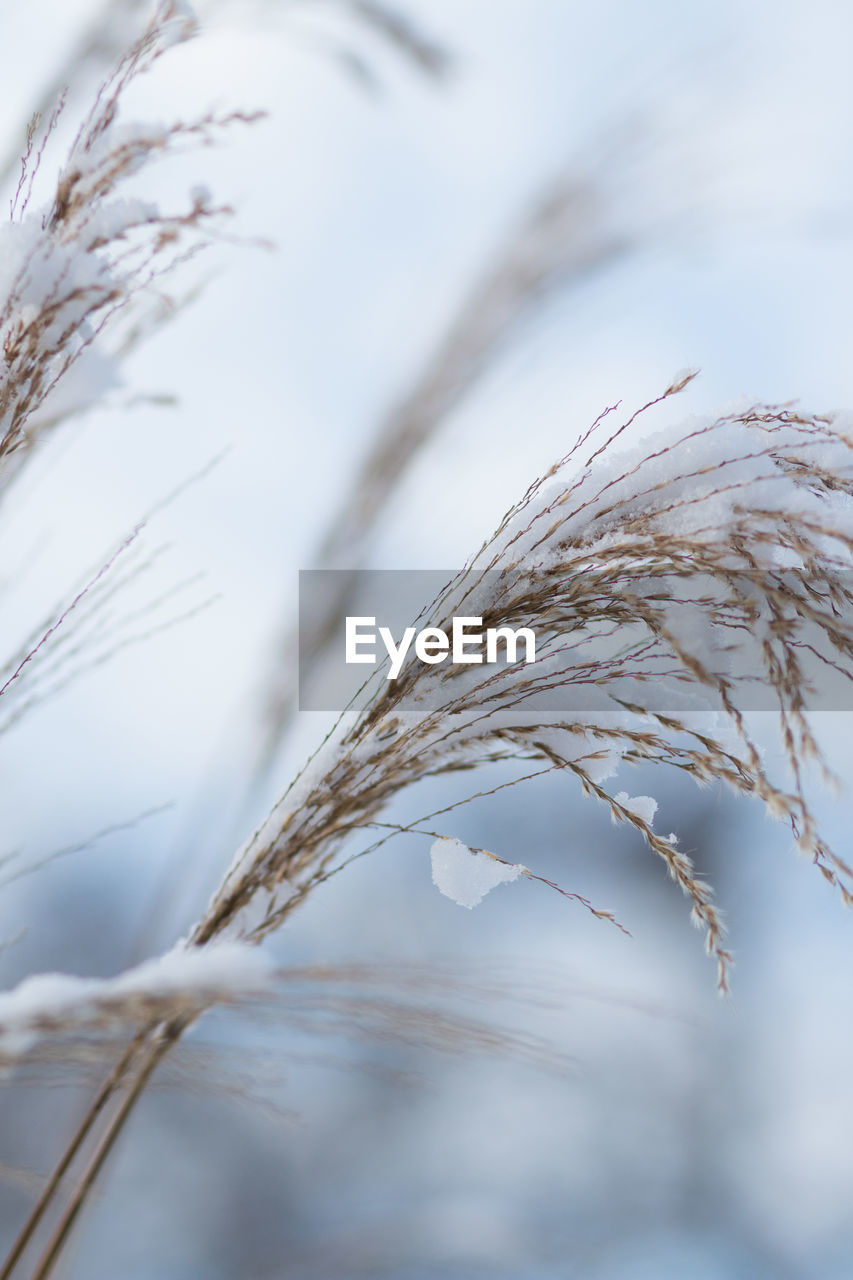 close-up, selective focus, plant, no people, tranquility, focus on foreground, nature, day, crop, growth, beauty in nature, agriculture, sky, outdoors, fragility, vulnerability, winter, field, cereal plant, grass, stalk