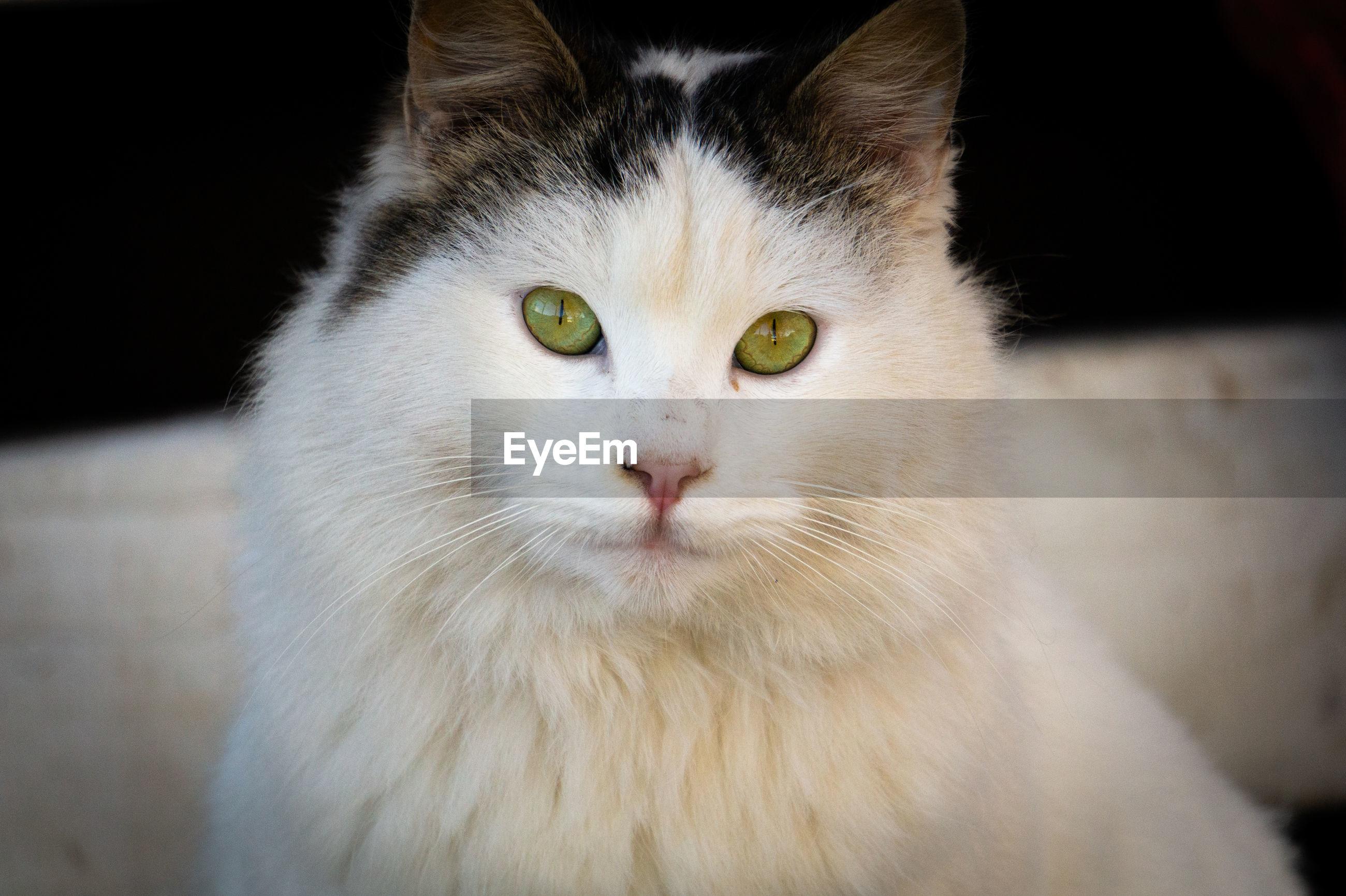 Close-up portrait of white cat
