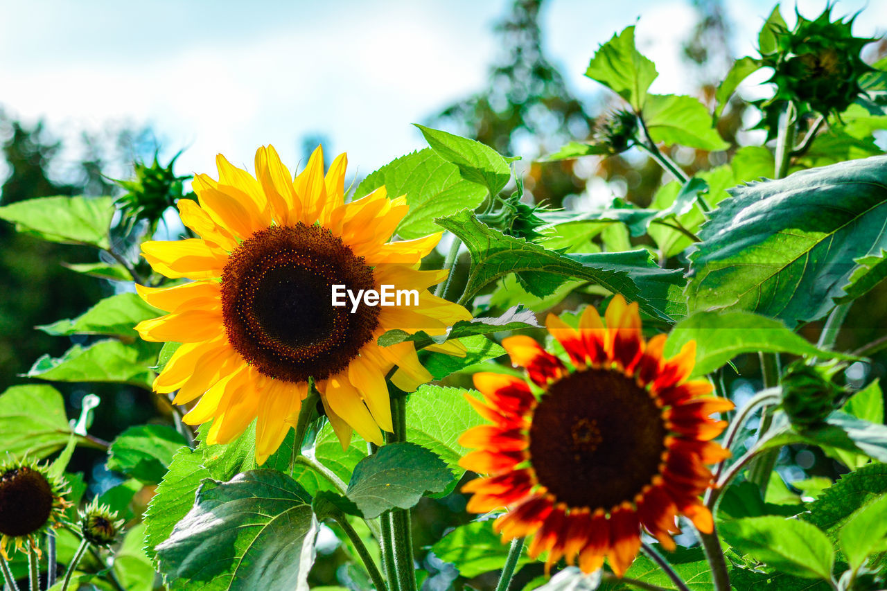 flower, growth, freshness, fragility, nature, beauty in nature, plant, petal, flower head, sunflower, leaf, yellow, blooming, outdoors, close-up, green color, no people, day, sky