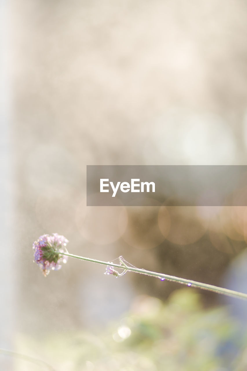 plant, flower, flowering plant, focus on foreground, fragility, beauty in nature, close-up, freshness, vulnerability, nature, growth, day, no people, selective focus, outdoors, sunlight, tranquility, lens flare, plant stem, flower head, purple