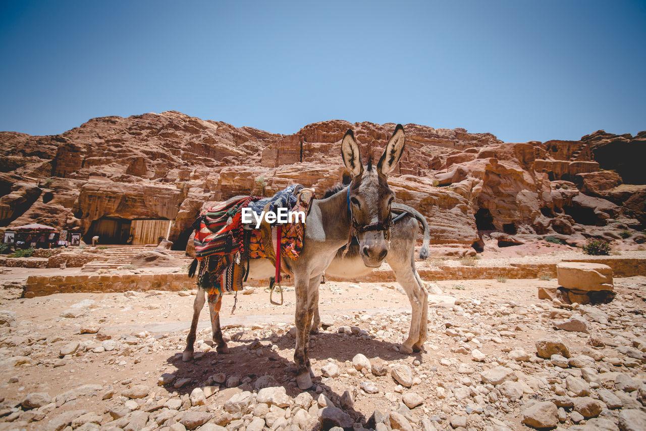 Donkeys against old ruins at desert