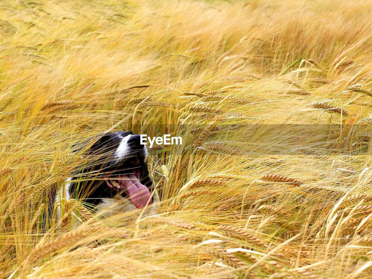 Border collie sticking out tongue on field