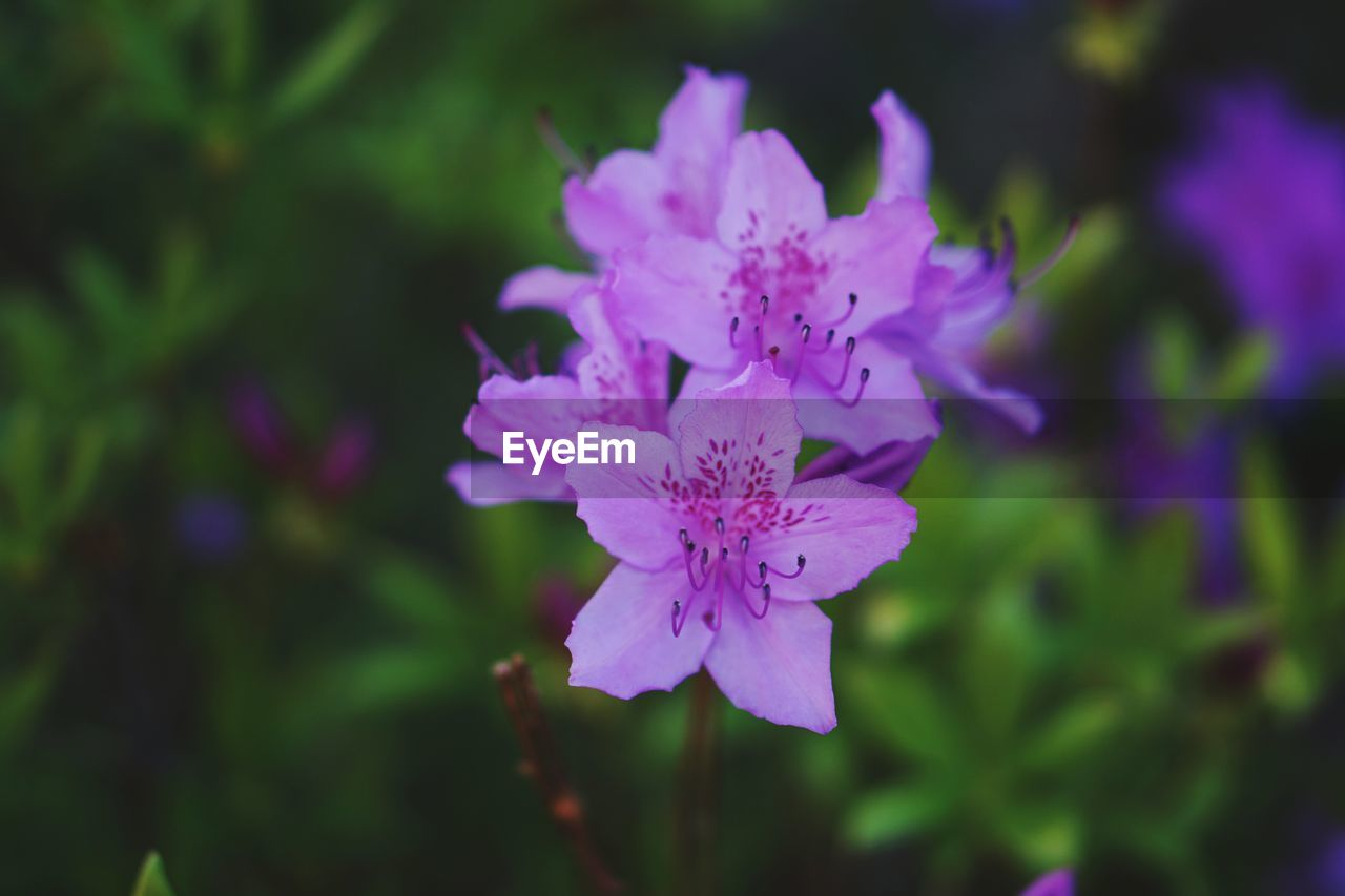 flowering plant, flower, fragility, vulnerability, freshness, beauty in nature, plant, petal, growth, close-up, flower head, inflorescence, purple, selective focus, nature, botany, no people, pollen, focus on foreground, day, spring