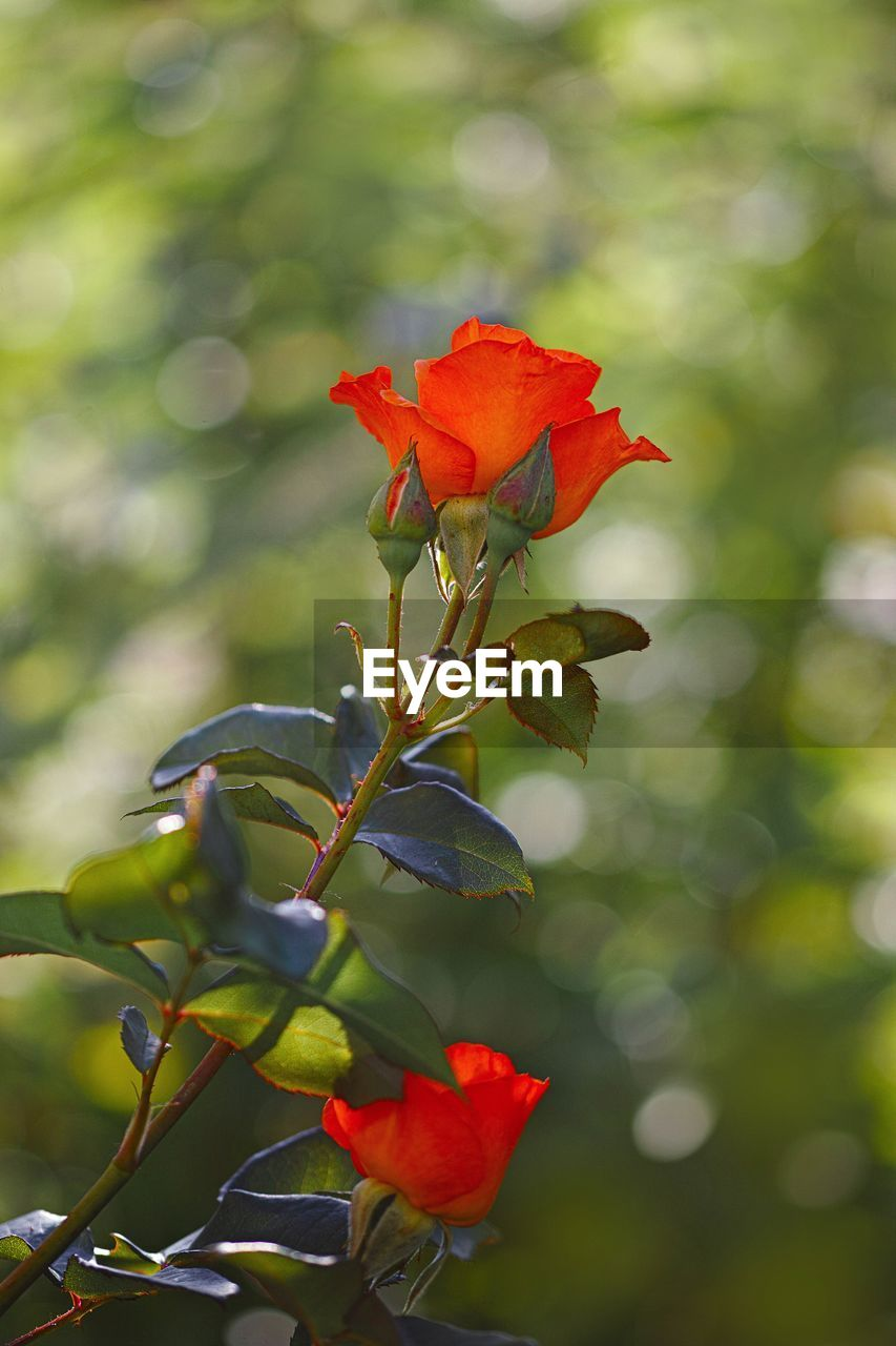 flower, plant, flowering plant, beauty in nature, growth, red, petal, vulnerability, close-up, fragility, freshness, focus on foreground, flower head, nature, inflorescence, no people, rose, leaf, rose - flower, plant part, outdoors
