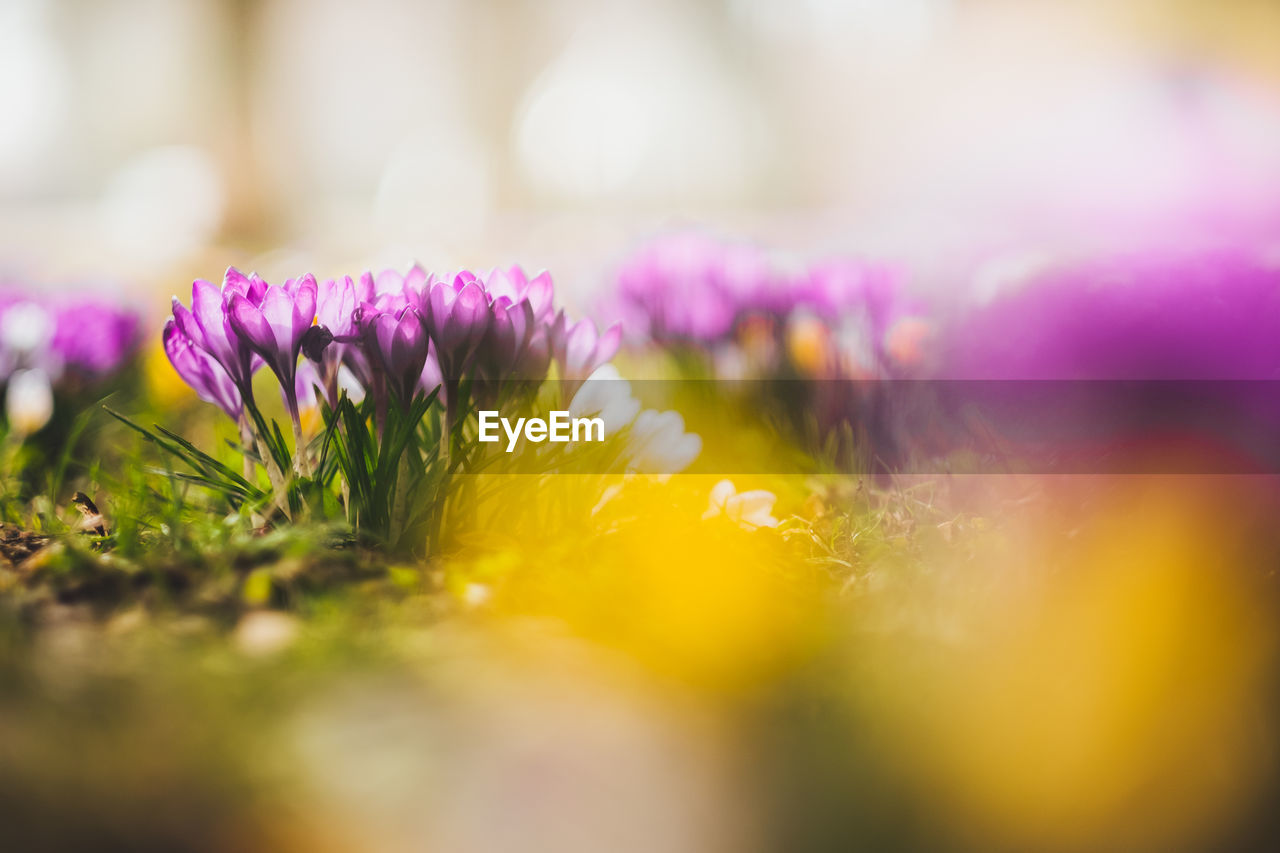 flower, flowering plant, selective focus, plant, freshness, beauty in nature, fragility, vulnerability, close-up, petal, growth, nature, no people, inflorescence, flower head, yellow, pink color, day, springtime, outdoors, purple, crocus, flower arrangement