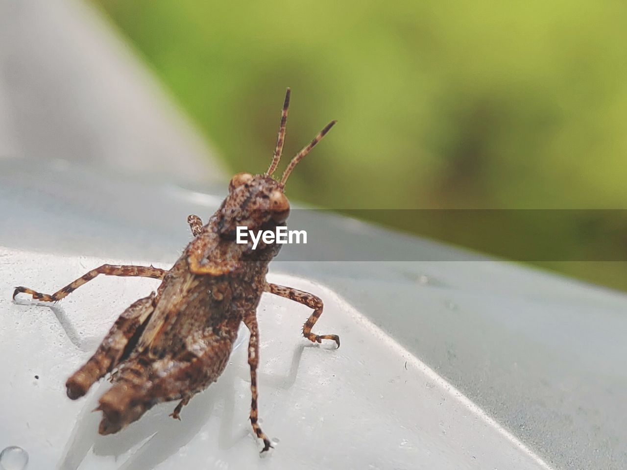 one animal, animal themes, animal, animals in the wild, animal wildlife, invertebrate, insect, close-up, day, focus on foreground, no people, nature, animal body part, outdoors, grasshopper, selective focus, animal antenna, zoology, green color, praying mantis