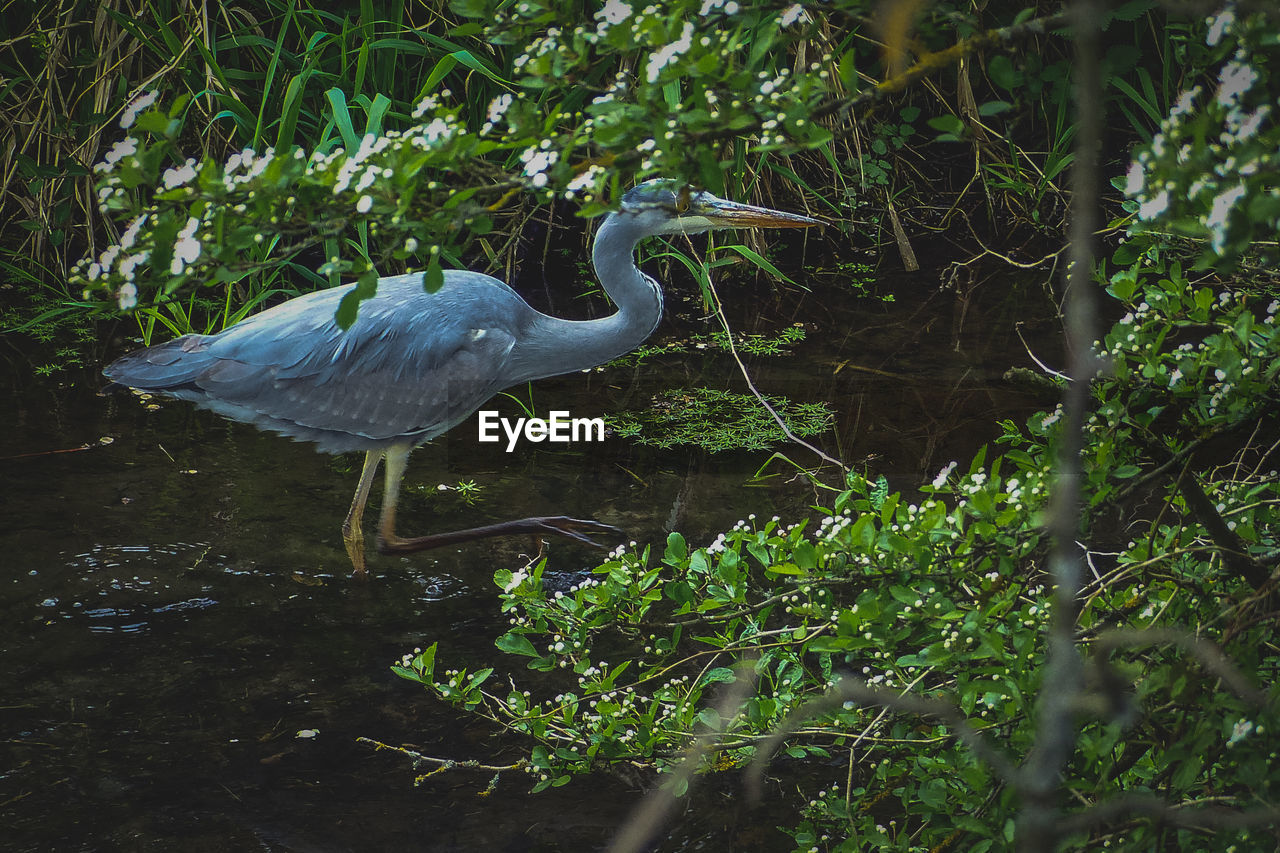 animal wildlife, animals in the wild, animal themes, one animal, plant, animal, bird, vertebrate, tree, heron, nature, water, no people, growth, water bird, day, forest, land, side view, outdoors