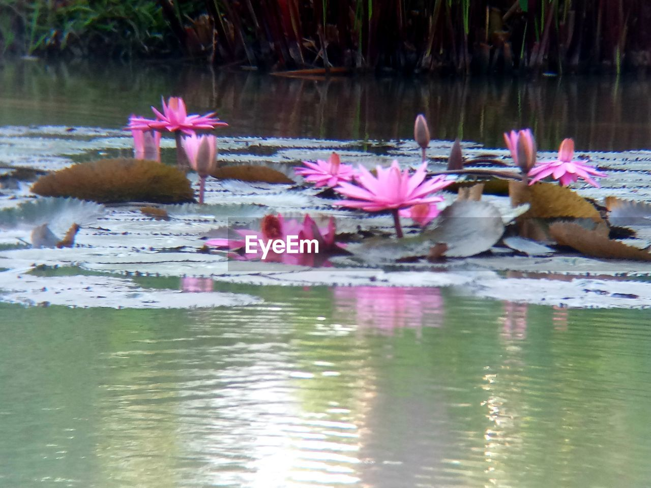 water, lake, waterfront, reflection, pink color, plant, flower, beauty in nature, nature, floating, flowering plant, floating on water, group of animals, vertebrate, animal themes, animal, no people, day, outdoors, flower head, lotus water lily, flock of birds